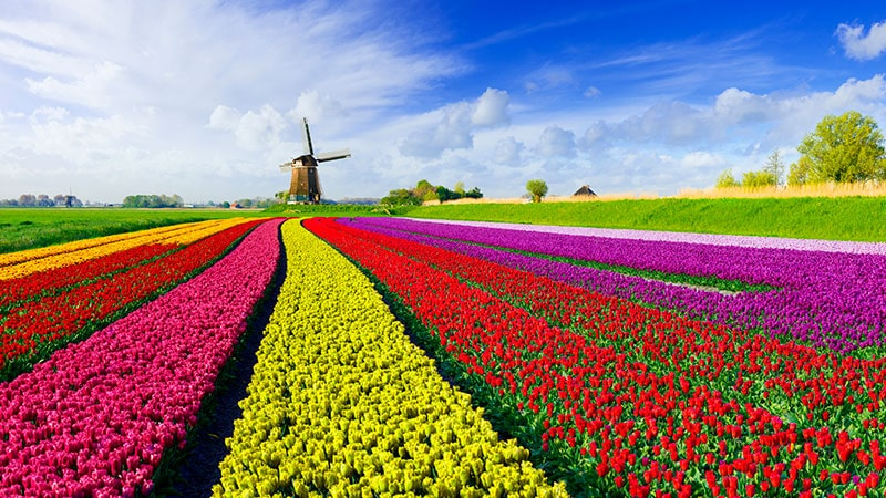 elvecruise-nederland-belgia-tulipaner-vindmolle