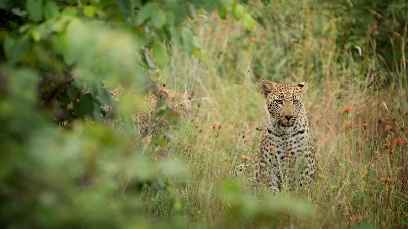 gepard-game_drive-lukimbi_safari_lodge