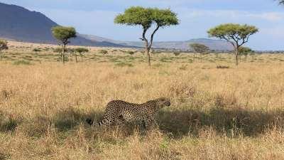 gepard-masai-mara-safari-kenya