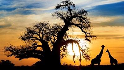 solnedgang-savanne-sjiraffer-safari