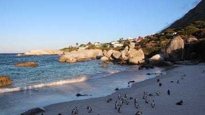 Pingviner i Sør Afrika
