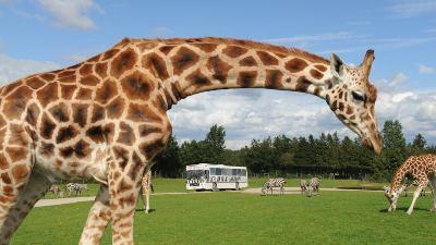 sjiraff-givskud-zoo
